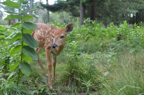 I TOUCHED this adorable fawn. eeee!